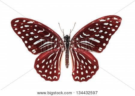 Red Spotted Zebra Butterfly