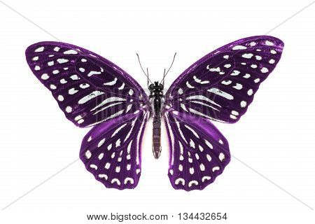 Purple Spotted Zebra Butterfly
