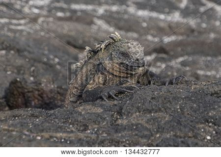 A sleeping iguana rests on the lava rocks of the Galapagos Islands