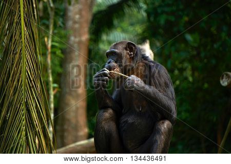 hungry chimpanzee eating in the zoo day