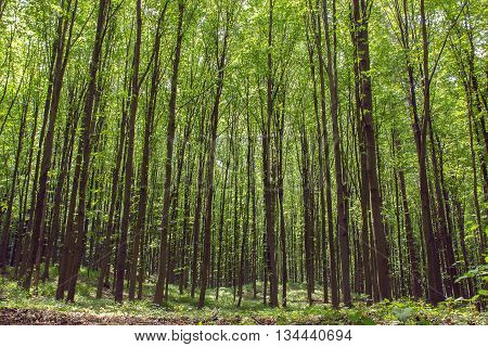beechen high green trees with a sunlight in the spring forest