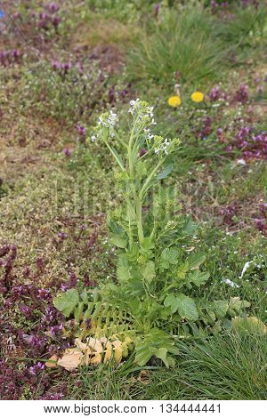 Flowering Radish (raphanus Sativus) Plant In Spring