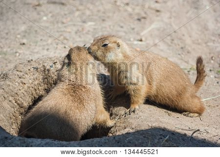 Two Ground Squirrels Also Known As Spermophilus Are Sniffing Each  Other