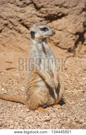 Meerkat Standing Alert In The Desert   Environment