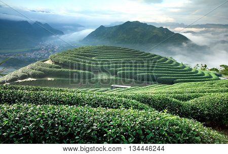 MOC CHAU, VIETNAM, June 14, 2016 tea hills, upland areas Moc Chau, Son La, Vietnam