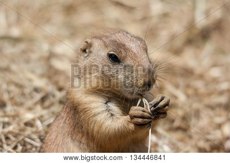 Ground Squirrels Also Known As Spermophilus In Its Natural  Habitat
