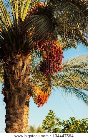 Date palm tree with red dates .