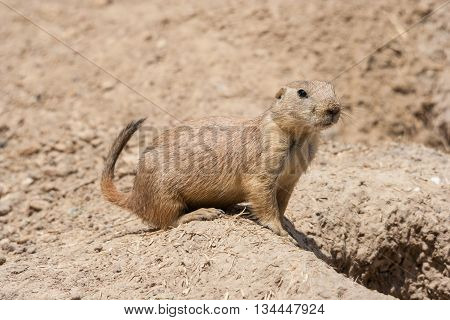 Ground Squirrel Also Known As Spermophilus Is Guarding Its Hole By Its  Entrance