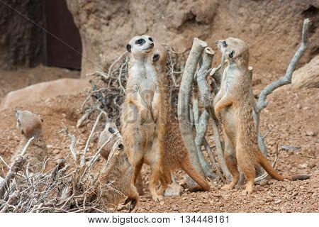 Family Of Meerkats Standing Alert In The Desert   Environment