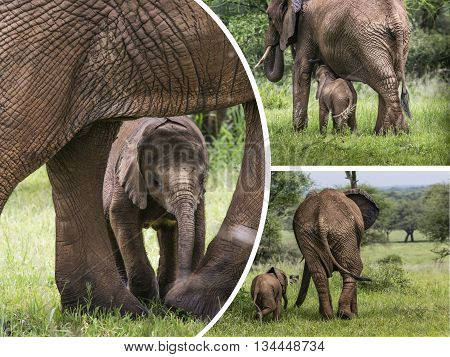Collage Of Elephants From Tanzania - Travel Background (my Photos)