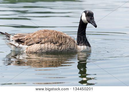 Canada Goose (kanada Gans) Swimming