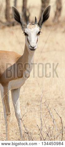 Portrait Of A Springbok