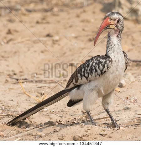 Portrait Of A Red Billed Hornbill (toko)
