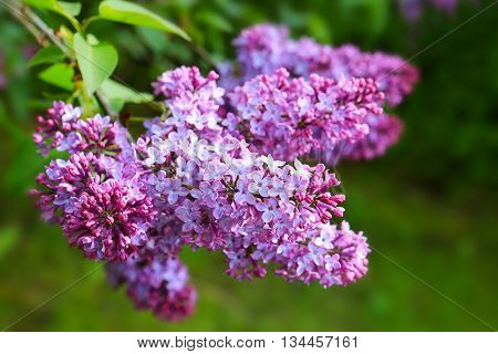 Close-up beautiful lilac flowers with the leaves. Sweet Lilac on the green background.Green branch with spring lilac flowers.