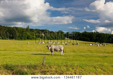 The leader of herd cows on a summer pasture in twilight