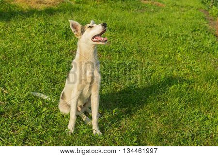 Adorable mixed breed young dog looking up while sitting on the grass