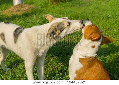 Mixed breed young dog licks mature basenji dog showing affection to older friend
