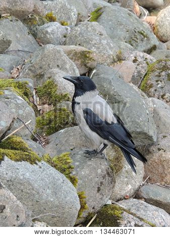 one bird hooded crow on the stones