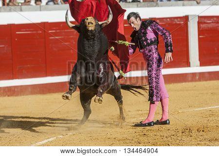 Pozoblanco Spain - September 24 2011: The Spanish Bullfighter Finito de Cordoba bullfighting with the crutch in the Bullring of Pozoblanco Spain