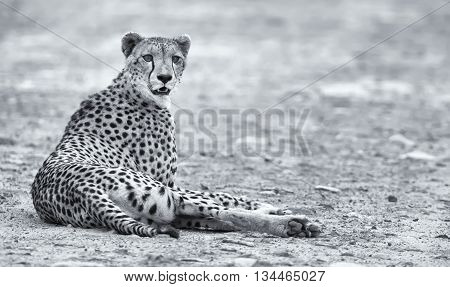 Lone cheetah laying on a road at dusk to rest