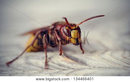 Big wasp - the hornet photographed by a close up.