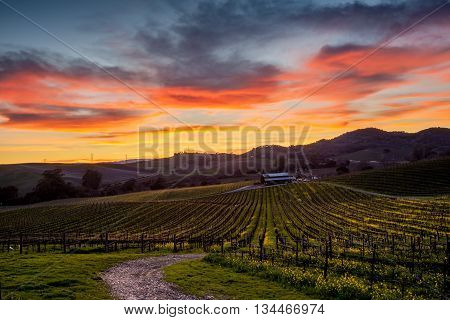 Colorful sunset over a Napa California vineyard. Spectrum of colors over Napa Valley vines in winter. Rolling hills of yellow mustard flowers. Path leads to a winery.