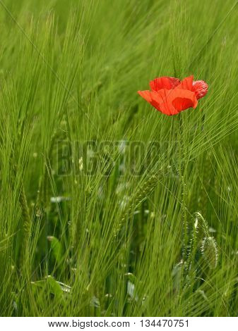 A solitary red poppy in a field of wheat