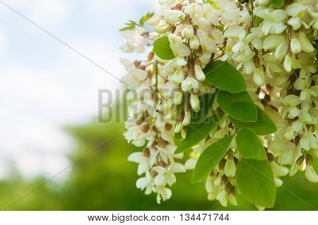 clusters of fragrant white acacia flowers with green leaves and soft background of trees in the background and blue cloudy sky