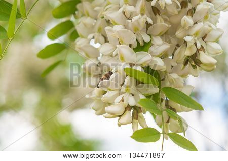 Bees collect nectar from clusters of fragrant white acacia flowers with green leaves and soft background of trees in the background and blue cloudy sky