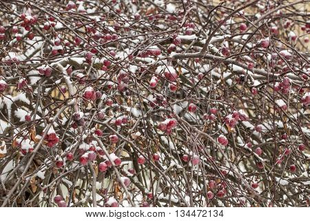 A snow-covered branch of wild apple tree with red fruits in the foreground and the footpath leading off in the winter park