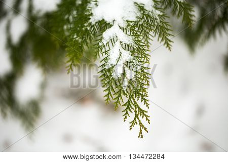 Snow covered of thuja branch. Close up. Coniferous branches and cones covered with hoarfrost. Close up.