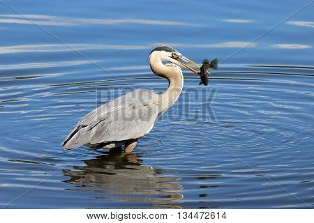 A great blue heron (Ardea herodius) catching a fish with it's beak.