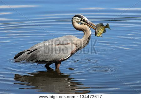 A great blue heron (Ardea herodius) catching a fish in it's beak.