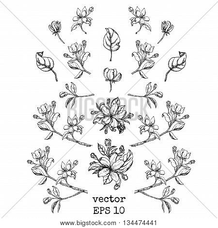set of branches and apple flowers. Flower set: Sketch of blossoming Apple tree branch. element for your design. Vector illustration