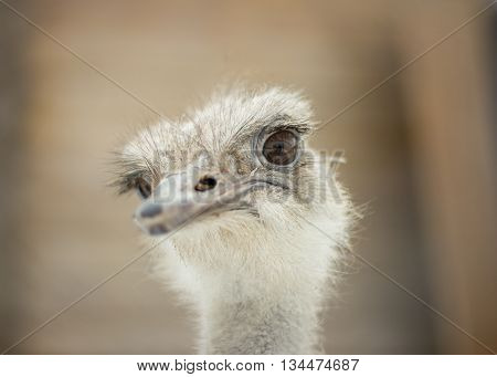 Ostrich stares into the lens at the zoo