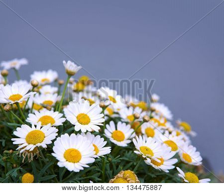 Marguerite flowers on a blurred gray background.