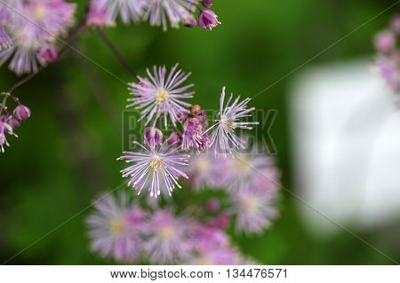 Macro photo of columbine meadow-rue flowers (Thalictrum aquilegiifolium).