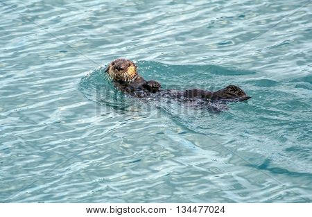 Alaskan Sea Otter swimming in Resurrection Bay Seward Alaska