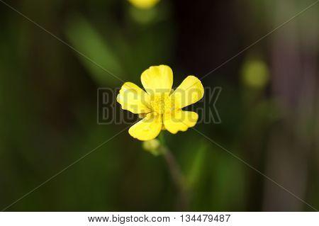 Flower of a lesser spearwort (Ranunculus flammula)