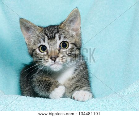 young six week old black and white tabby kitten sitting laying on an aqua teal colored blanket resting watching looking forward with concerned perplexed expression hesitant