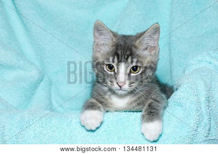 young six week old black and white tabby kitten sitting laying on an aqua teal colored blanket resting watching looking forward and downward