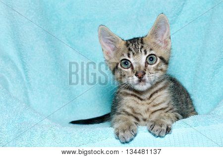 young six week old tricolor tabby kitten sitting laying on an aqua teal colored blanket resting watching looking forward