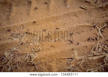 Closeup Shot Of A Group Of Black Ants Walking On Dirt