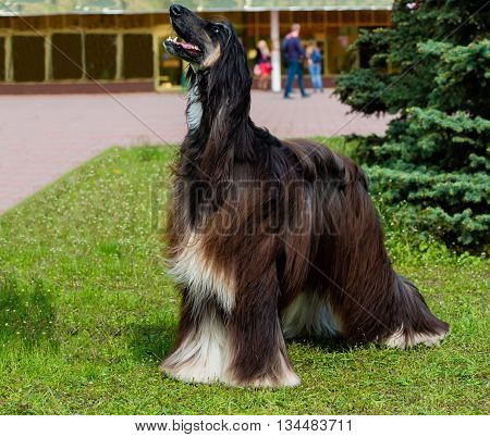 Afghan Hound barks. The Afghan Hound is on the green grass.
