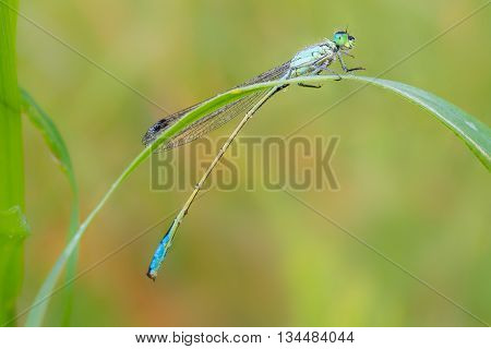 Dewy Dragonfly on the blade of grass.