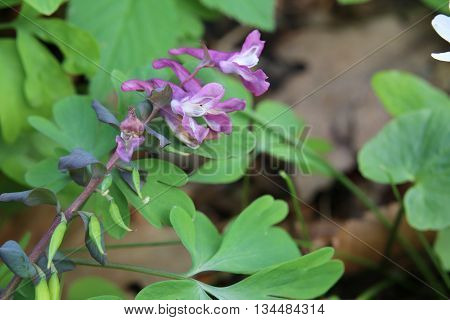 Corydalis Cava, A Species Of Fumewort, With Blossoms