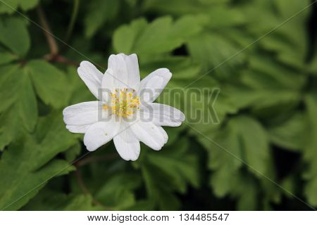Wood Anemone (anemone Nemorosa) With Leaves And Blossoms