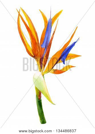 Bird of paradise flower painted in watercolor. Botanical illustration.