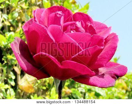 Purple red rose in Or Yehuda Israel