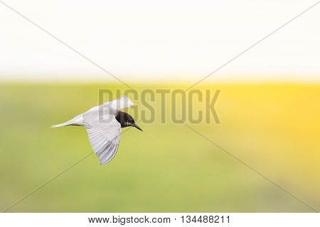 gray black-headed gull flies over pond green toward the sun